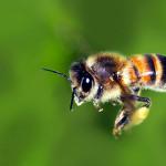ape 150x150 Salviamo le api dai pesticidi, cresce il ronzio sul web. Firmiamo la petizione on line.