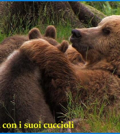 orsa daniza e cuccioli in trentino