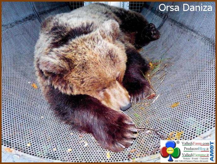 orsa daniza catturata L'orsa Daniza è morta