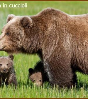 orsa daniza con cuccioli 1