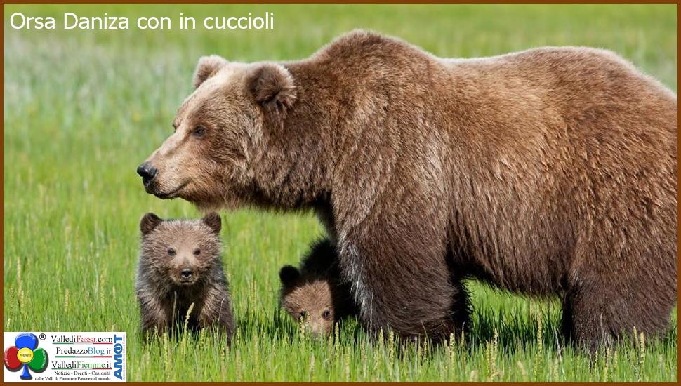 orsa daniza con cuccioli 1 Orso in Trentino, SI o NO? Partecipa al Sondaggio