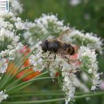ape 150x150 Salviamo le api che stanno morendo ovunque. Video