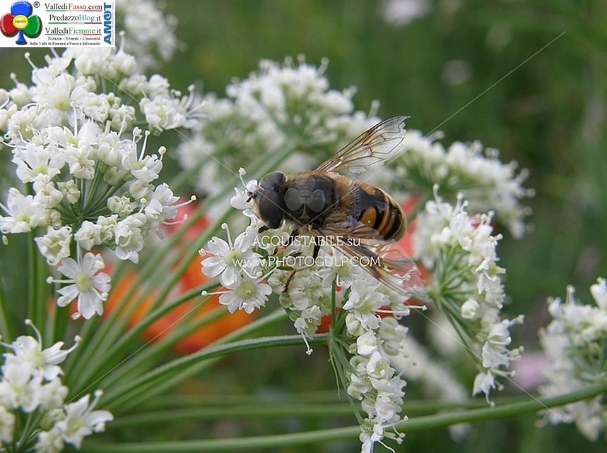 ape Il Comune di Predazzo in aiuto agli apicoltori