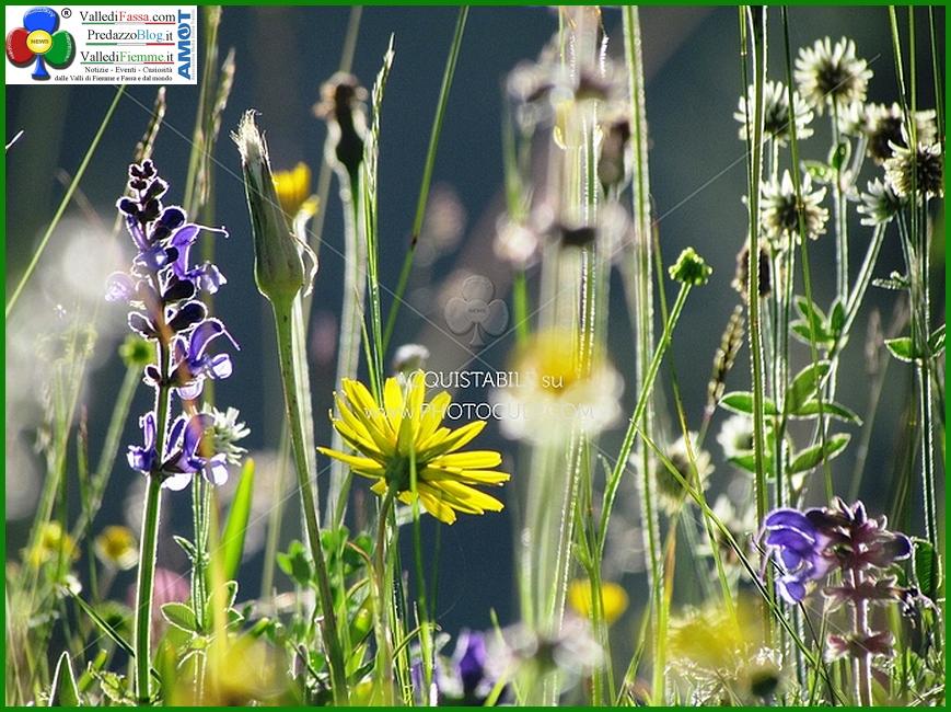 prato fiorito Fiori, erbe e sapori 2018 in Valle di Fiemme