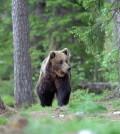 orso trentino 1