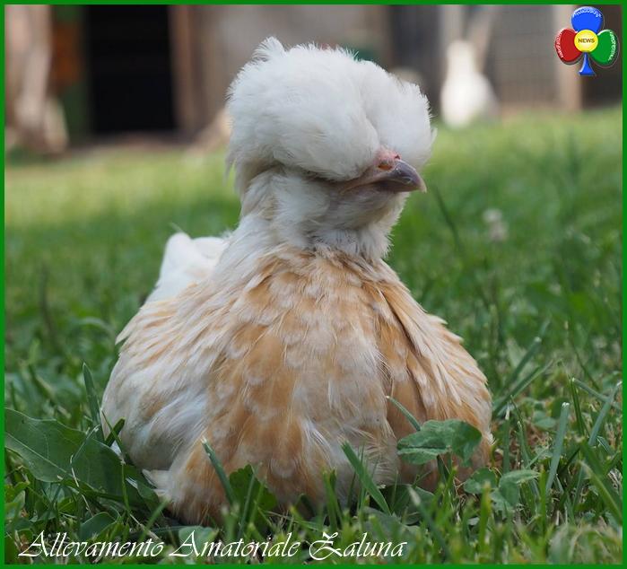 allevamento amatoriale zaluna Le gallinelle ornamentali di Nicole a Zaluna