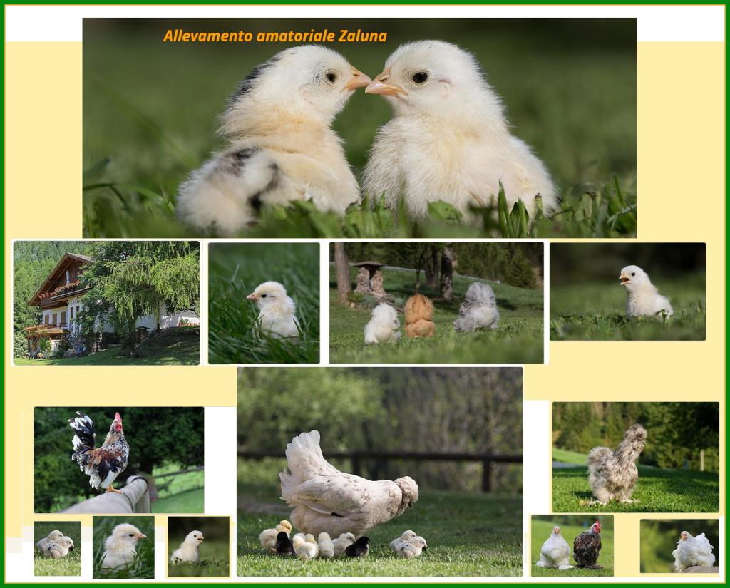 allevamento zaluna 1024x825 Le gallinelle ornamentali di Nicole a Zaluna