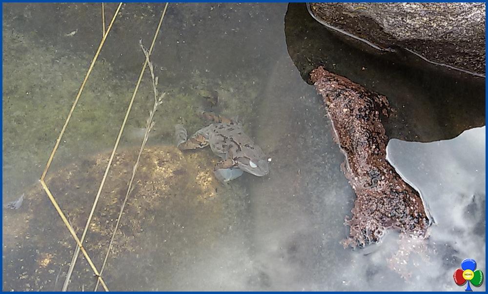 rana morta Svelato il mistero delle 100 rane morte al laghetto delle Piaie