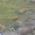 rane morte 1 150x150 Svelato il mistero delle 100 rane morte al laghetto delle Piaie