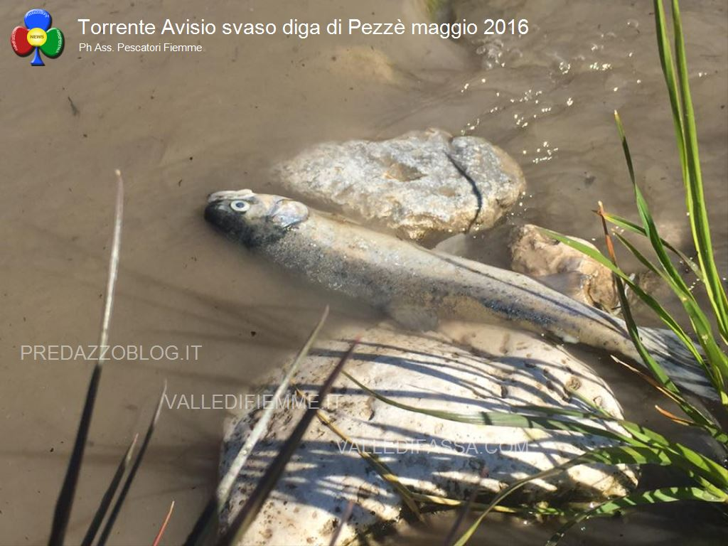 avisio svaso diga di pezze maggio 2016 fiemme11 Avisio, la Provincia sinventa linquinamento buono