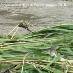 avisio svaso diga di pezze maggio 2016 fiemme12 150x150 NellAvisio muoiono le trote per lo svaso della diga di Pezzè