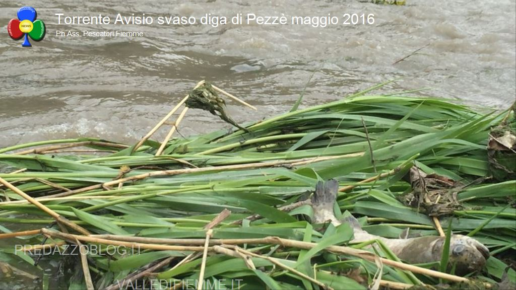 avisio svaso diga di pezze maggio 2016 fiemme12 NellAvisio muoiono le trote per lo svaso della diga di Pezzè