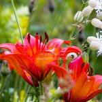 fiori giglio rosso azzola 150x150 Predazzo   Bellamonte: Fiori, erbe e sapori   Quel mazzolin di fiori   Il prato nel piatto