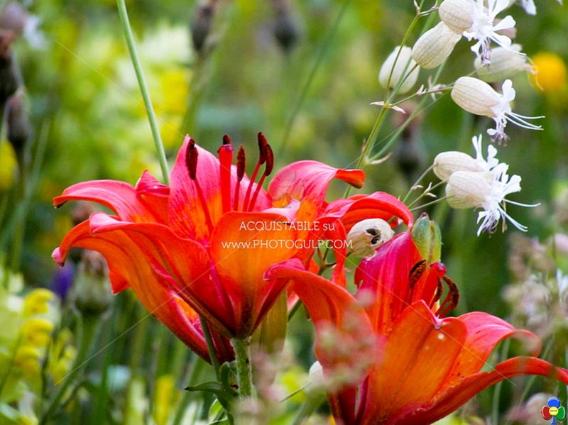 fiori giglio rosso azzola Fiori Erbe Sapori 2017 in Valle di Fiemme