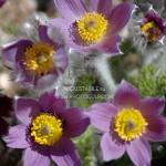 fiori montagna 6 150x150 Predazzo e Bellamonte tra fiori erbe sapori   scarica Ebook