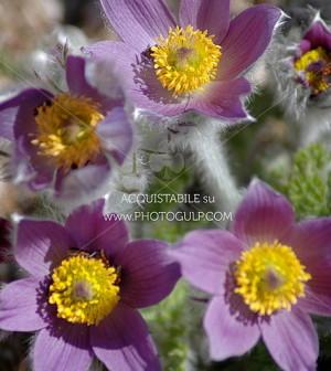 fiori montagna 6