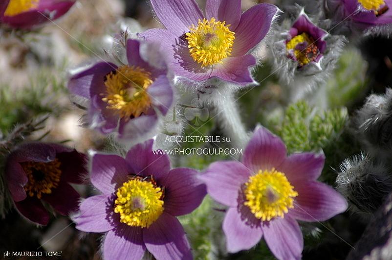 fiori montagna 6 La settimana dei Fiori, erbe e sapori