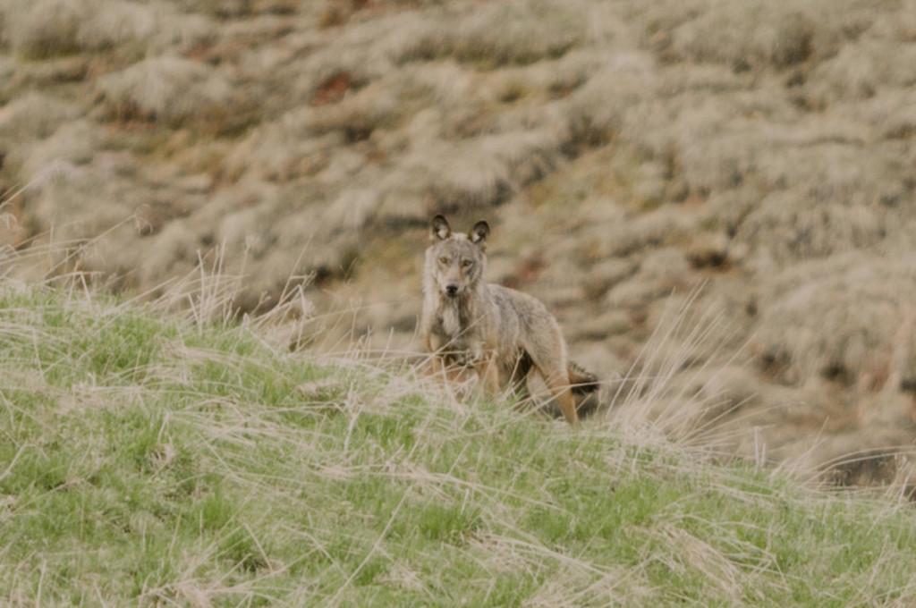 lupo venegia 1 1024x680 Avvistato il lupo in Val Venegia nel Parco di Paneveggio
