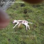 strage di pecore da parte del lupo in val venegia3 150x150 Ancora il Lupo? 4° strage di pecore a forcella Venegia