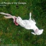 strage di pecore da parte del lupo in val venegia4 150x150 Ancora il Lupo? 4° strage di pecore a forcella Venegia