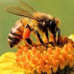 api fiore 150x150 Predazzo, sentieri e territorio in ordine grazie a Intervento 19
