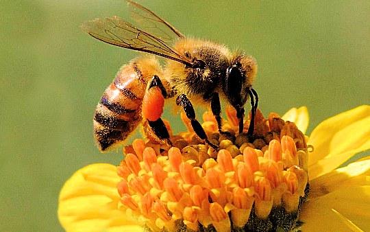 api fiore Nuovi progetti per salvare le api e i fiori in Valle di Fiemme