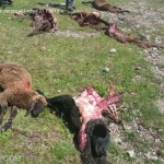 lupo fa strage di pecore al fedaia7 150x150 I lupi fanno strage di 50 pecore al Passo Fedaia