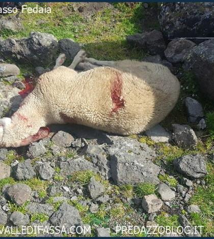 strage di pecore al passo fedaia