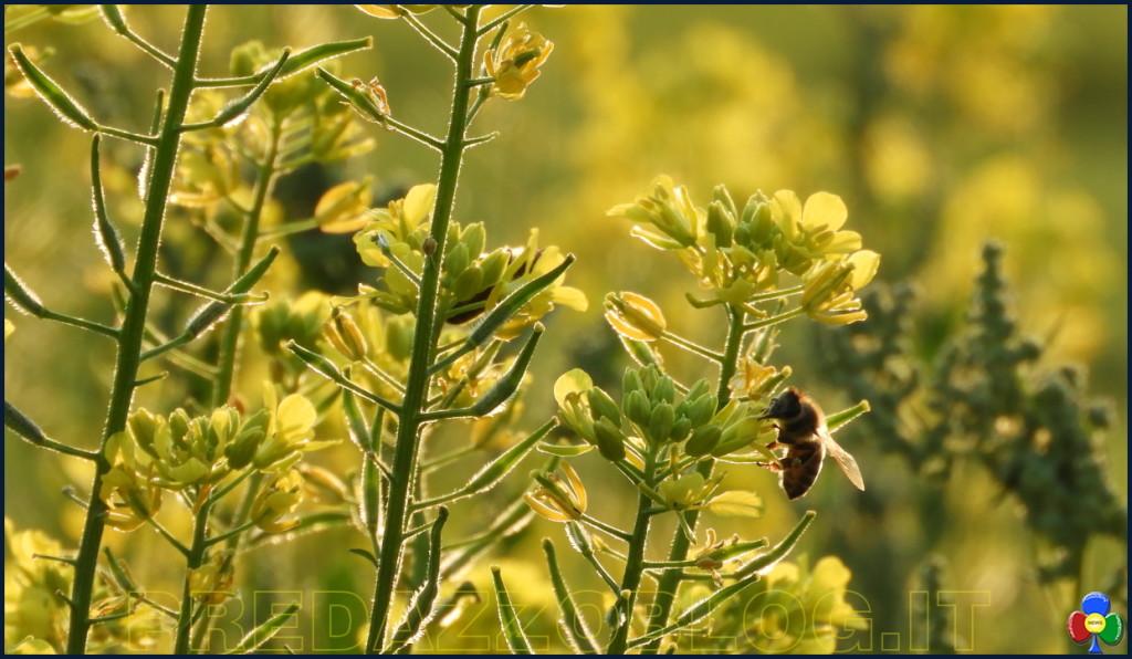 fiori e api nella campagna di predazzo 1024x596 La cornice fiorita nella campagna di Predazzo