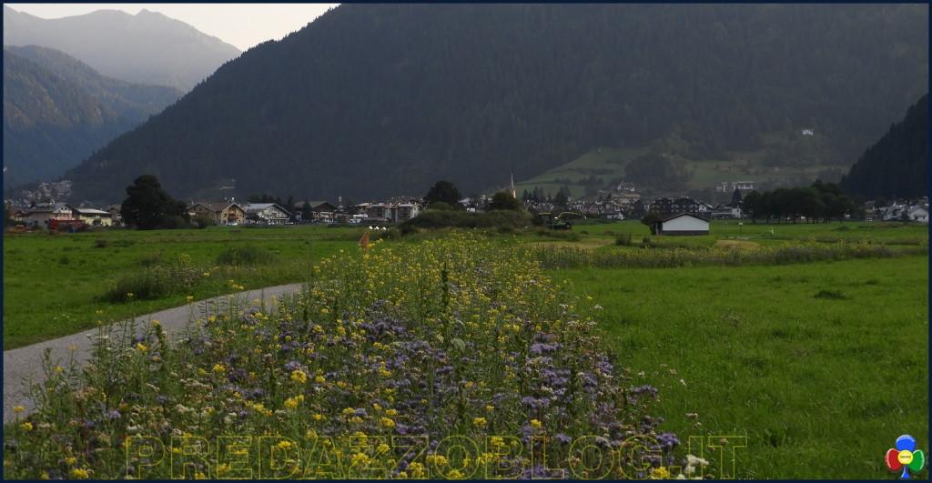 fiori e api nella campagna di predazzo 2 1024x531 La cornice fiorita nella campagna di Predazzo