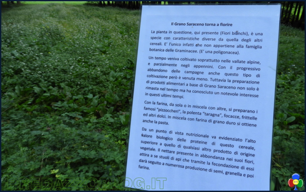 grano saraceno nella campagna di predazzo 1024x641 La cornice fiorita nella campagna di Predazzo