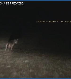 lupo nella campagna di predazzo
