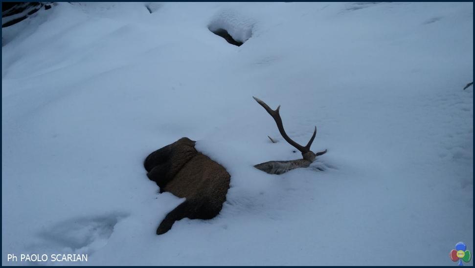 cervo morto paolo scarian Morìa di cervi e caprioli provati dal lungo inverno