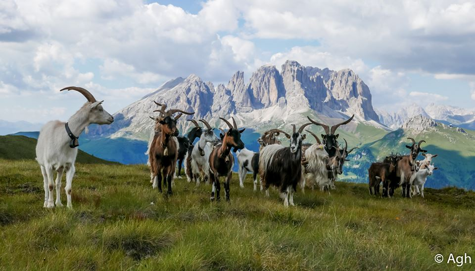 Val di Fassa zona frequentata dai lupi con animali liberi non custoditi Il lupo nelle nostre valli: Predazioni e prevenzione