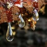 resina 150x150 Il bostrico fa la sua comparsa nei boschi di Predazzo