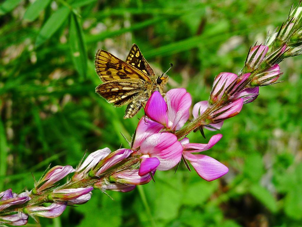 Onobrychis e farfalla x copertina 1024x768 FIORI, ERBE E SAPORI 2021   Programma
